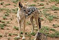 Black-backed jackal, Canis mesomelas, at Pilanesberg National Park, South Afric (17313975875).jpg
