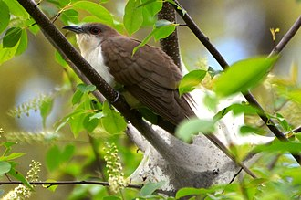 Black-billed cuckoo - Adult black-billed cuckoo hiding in some branches.