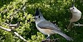 Black-crested Titmouse From The Crossley ID Guide Eastern Birds.jpg