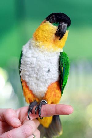 Black-headed parrot - Image: Black headed Parrot (Pionites melanocephalus)3
