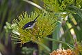 Black-throated Blue Warbler (Dendroica caerulescens) (8592689424).jpg