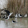 Black-winged Stilts (Himantopus himantopus) - Flickr - berniedup.jpg