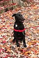 Black Lab Possibly Greyhound Puppy in the Fall Leaves (22451512490).jpg