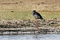 Black Stilt juv - South Island - New Zealand (38506915434).jpg