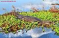 Black caiman Macrofotografie 1.jpg