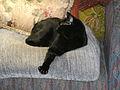 Black cat in repose.jpg