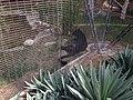 Black panther 1, Al-Ain Zoo.jpg
