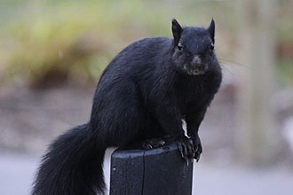 Black squirrel - Black squirrel near Michigan State University in East Lansing, Michigan