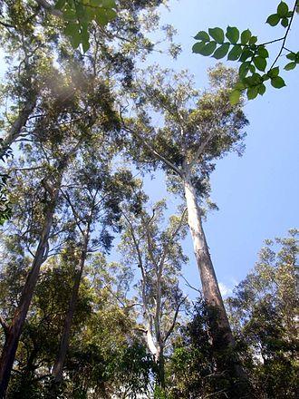 Sclerophyll - Blackbutt (Eucalyptus pilularis) in sclerophyll forest, Sydney