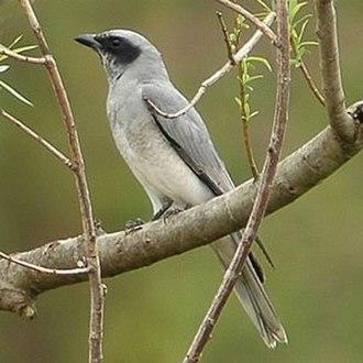 Cuckooshrike - Black-faced cuckooshrike Coracina novaehollandiae