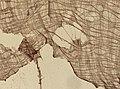 Blatta orientalis (YPM IZ 098913).jpeg