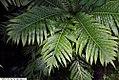 Blechnum gibbum 1zz.jpg