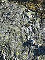 Blefjell seteraasen quartzite amfibolite amfibolgneiss IMG 1714.jpg