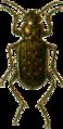 Blethisa multipunctata Jacobson.png