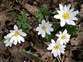 Bloodroot (Sanguinaria canadensis) - Flickr - Jay Sturner.jpg