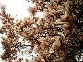 Blooming magnolia.jpg