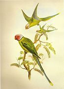 Drawing of two green parrots with darker wings, one with a white head and red cheeks