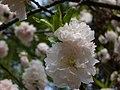 Blossoms (3441299650).jpg