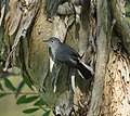 Blue-Gray Gnatcatcher (4233940266).jpg