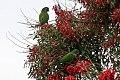 Blue-crowned Parakeet (Thectocercus acuticaudatus) (8077637337).jpg