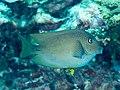 Blue-lipped bristletooth (Ctenochaetus cyanocheilus) (40246835650).jpg