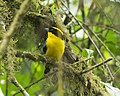 Blue-winged Mountain-tanager (Anisognathus somptuosus) (20683896706).jpg