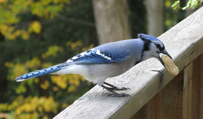 File:Blue Jay with Peanut.jpg