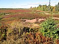 Blueberry fields, between Murray River and Murray Harbour, PEI (10147236364).jpg