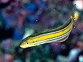 Bluestriped fangblenny (Plagiotremus rhinorhynchos) (42825405174).jpg