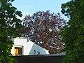 Blutbuche, Nothartgasse 17, 1130 Wien.jpg