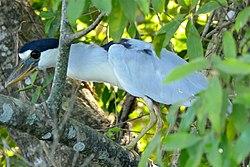 Boat-billed Heron, Transpantaneira, Poconé, Mato Grosso, Brazil 4.jpg