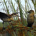 Boat-tailed Grackles at Lake Woodruff National Wildlife Refuge - Andrea Westmoreland (2).jpg