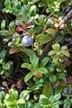 Bog Bilberry (Vaccinium uliginosum) among Lingonberry (Vaccinium vitis-idaea) - Crow Head, Newfoundland 2019-08-15.jpg