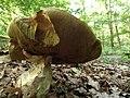 Boletus edulis (5) (26567474129).jpg