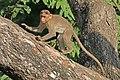 Bonnet macaque (Macaca radiata) 2.jpg