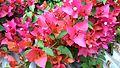 Bougainvillea glabra of Bangladesh 30.jpg