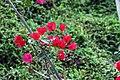Bougainvillea spectabilis 5zz.jpg