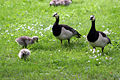 Branta leucopsis with goslings in Stockholm.jpg