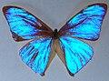 Brasilianischer Schmetterling f8-1.JPG