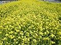 Brassica napus var. napus (3485742992).jpg