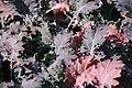 Brassica oleracea Red Russian 0zz.jpg