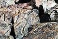 Breccia (Shatter Zone, Late Devonian; Sand Beach, Mt. Desert Island, Maine, USA) 8.jpg