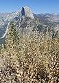 Brickellia californica kz01.jpg