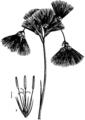 Britannica Cyperaceae Eriophorum and Scirpus.png