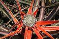 Bromelia serra (Pfendbach) 00508.jpg