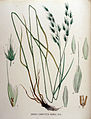 Bromus commutatus — Flora Batava — Volume v16.jpg