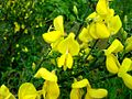 Broom-genet-flowers1.jpg