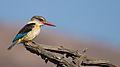 Brown Hooded Kingfisher.jpg