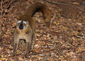 Brown Lemur in Berenty 1.jpg
