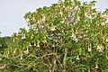 Brugmansia Trumpet Flower in full bloom (11949281855).jpg